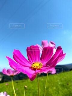 秋桜のクローズアップの写真・画像素材[4832304]