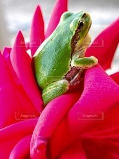 薔薇とアマガエルのクローズアップの写真・画像素材[4832344]