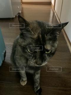 木の床の上に座っている猫の写真・画像素材[3019284]