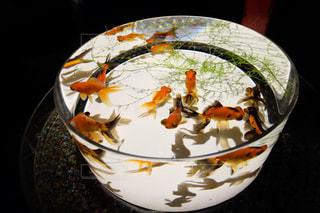 金魚 - No.379778