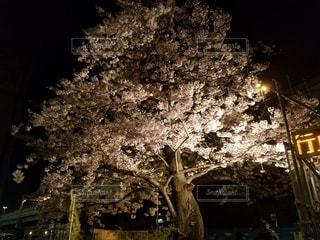 夜桜の写真・画像素材[3019429]