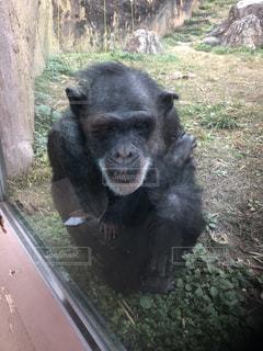 寒がりチンパンジーの写真・画像素材[3015385]