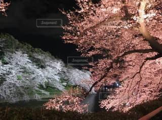 夜桜と千鳥ヶ淵の写真・画像素材[3038960]