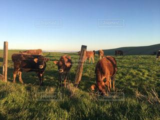 緑豊かな牧場と牛の群れの写真・画像素材[3018452]
