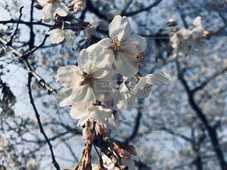 桜の写真・画像素材[3019189]