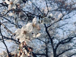 桜の写真・画像素材[3019194]