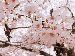 桜の写真・画像素材[3019576]