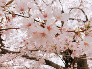 桜の写真・画像素材[3019577]
