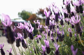 紫色の花のクローズアップの写真・画像素材[3037735]