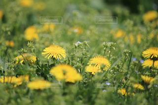 野原の黄色い花の写真・画像素材[3042701]