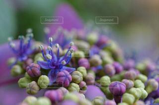 紫色の花のクローズアップの写真・画像素材[3074828]