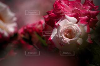 花のクローズアップの写真・画像素材[3089764]