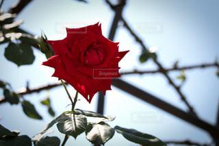 木の枝に赤いバラの写真・画像素材[3089765]