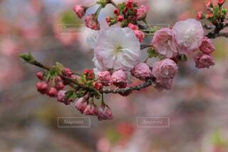 大阪の造幣局の通り抜けの桜の写真・画像素材[4036893]