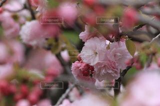 大阪の造幣局の通り抜けの桜の写真・画像素材[4036895]