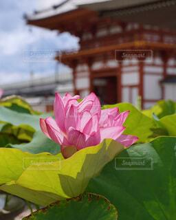 夏の喜光寺の写真・画像素材[4686393]