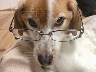 メガネをかける犬の写真・画像素材[3133229]
