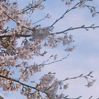 通勤中に見つけた桜の写真・画像素材[3029640]