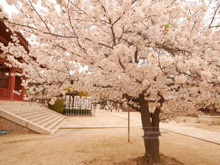 お花見にて@四天王の写真・画像素材[3029648]