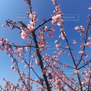 早咲きの桜 @淡路島の写真・画像素材[3030160]