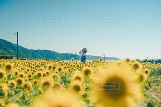 ひまわり畑の写真・画像素材[3580796]