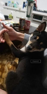 ぶりっこ犬の写真・画像素材[3032274]