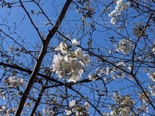 木の枝に花瓶の写真・画像素材[3108884]