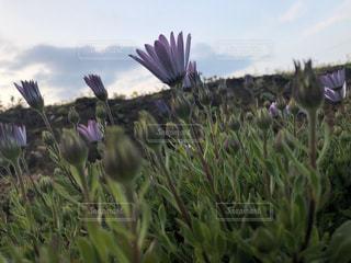 紫色の花の写真・画像素材[3045117]