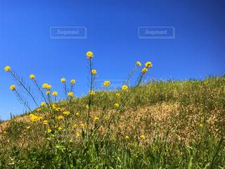 野原の黄色い花の写真・画像素材[3047902]