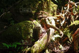 森の中の植物の写真・画像素材[3121007]