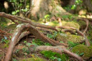森の中の木の写真・画像素材[3121009]