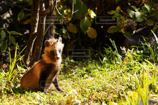 草の中に座っているキツネの写真・画像素材[3156092]