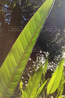 バナナの木の側にヤシの木の列の写真・画像素材[3171626]