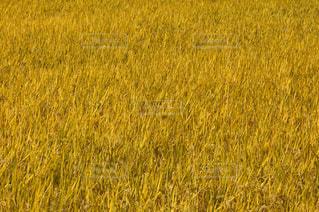 背の高い草の畑の写真・画像素材[3171674]