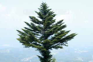 森の中の大きな木の写真・画像素材[3171686]