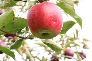 枝からぶら下がっている果物のクローズアップの写真・画像素材[3171700]