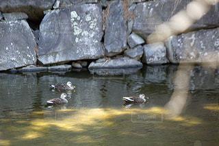 水の中を泳ぐ鳥の写真・画像素材[3202874]