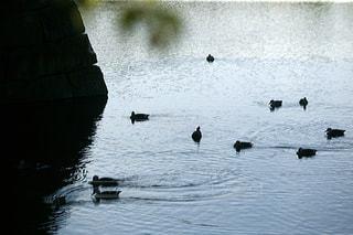 カモの群れが水の中で泳いでいるの写真・画像素材[3202876]