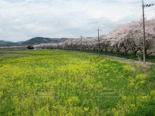 桜と菜の花との写真・画像素材[4337896]