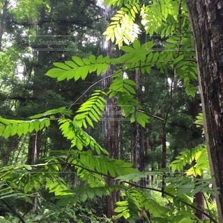 森の中の大きな木の写真・画像素材[3105582]