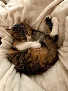 お昼寝子猫の可愛い寝顔1の写真・画像素材[3050277]