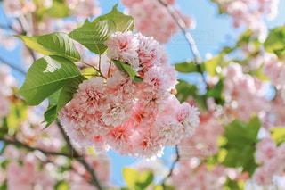 八重桜の写真・画像素材[3039987]