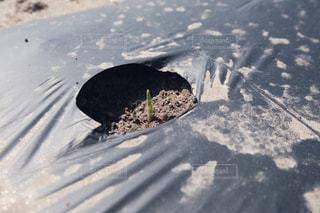 トウモロコシの発芽の写真・画像素材[3142474]