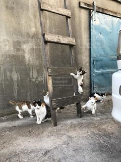 牛舎に住み着く猫の写真・画像素材[3040805]