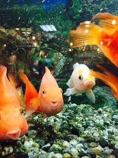 笑う金魚たちの写真・画像素材[3623200]