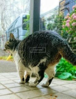 あくびしている猫の写真・画像素材[3045076]