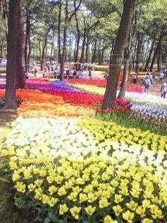 色とりどりのチューリップ花畑の写真・画像素材[3047063]
