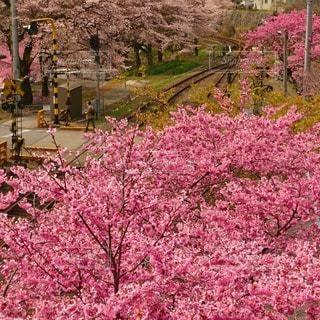 わたらせ渓谷鉄道の桜の写真・画像素材[3049850]