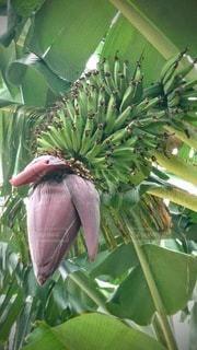 木からぶら下がっている緑のバナナの束の写真・画像素材[3051331]