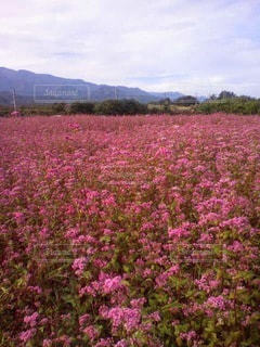 赤いそばの花畑の写真・画像素材[3051730]